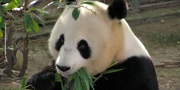 IELTS Reading panda